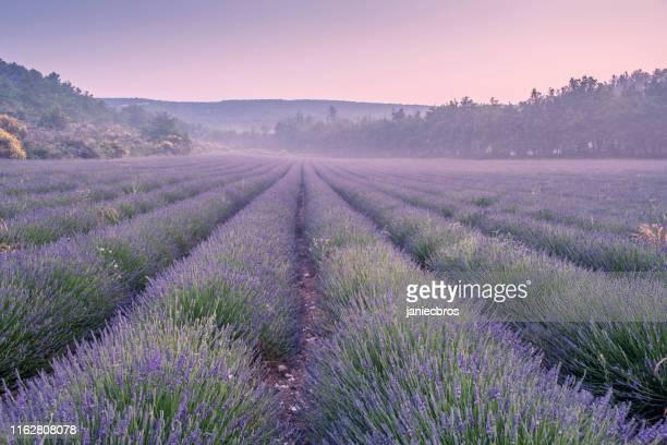 lavender field - lavender color foto e immagini stock
