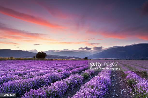 lavender field - color lavanda - fotografias e filmes do acervo