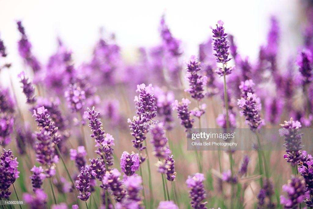 Lavender field : Stock Photo