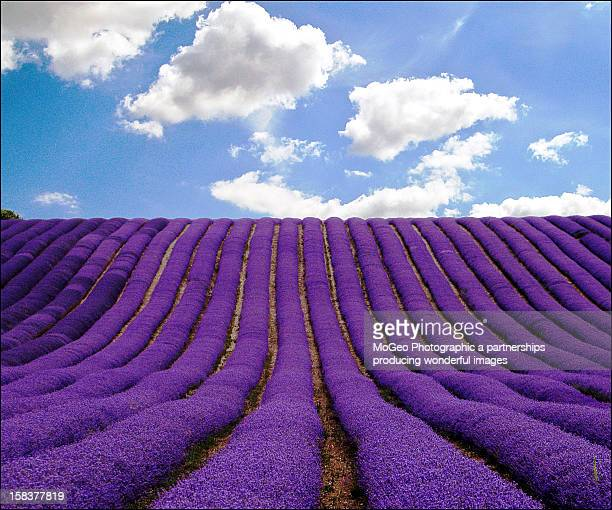 lavender field - hertfordshire stock pictures, royalty-free photos & images