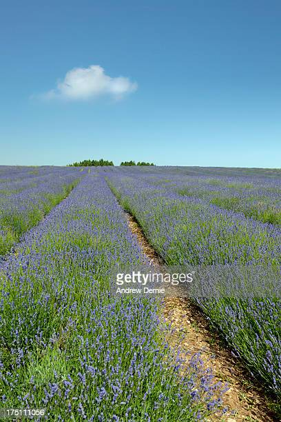lavender field - andrew dernie stock pictures, royalty-free photos & images