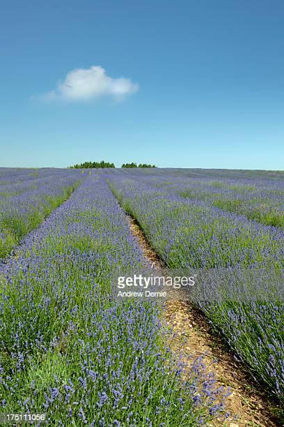 lavender field - andrew dernie - fotografias e filmes do acervo