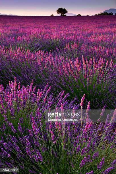 lavender field - bouches du rhone stock pictures, royalty-free photos & images