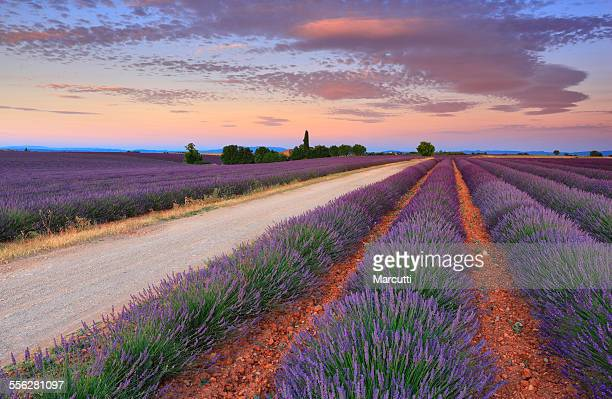 lavender field - provence alpes cote d'azur stock photos and pictures