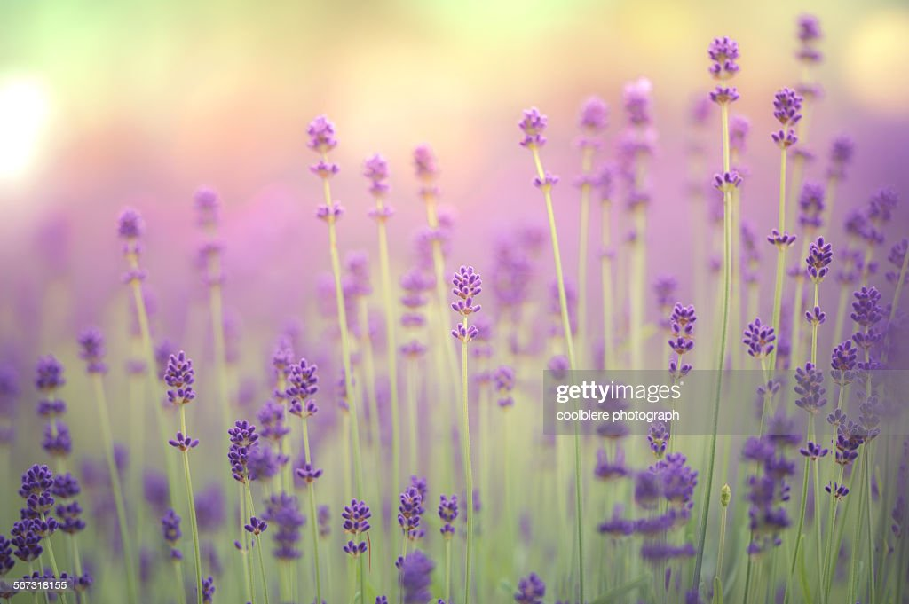 Lavender field : Foto de stock