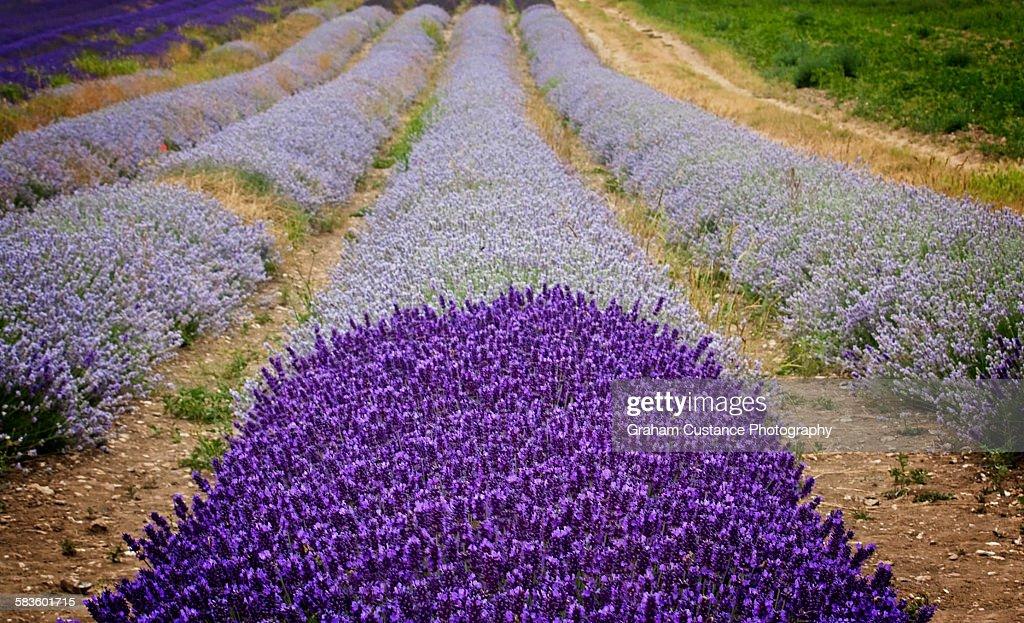Lavender Field : Stock Photo