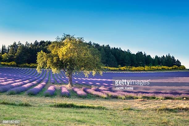 lavender field - アルプドオートプロバンス県 ストックフォトと画像
