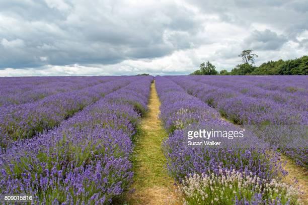 lavender field - エプソム ストックフォトと画像