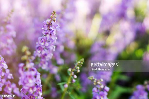 lavender field selective focus - lavender stock pictures, royalty-free photos & images