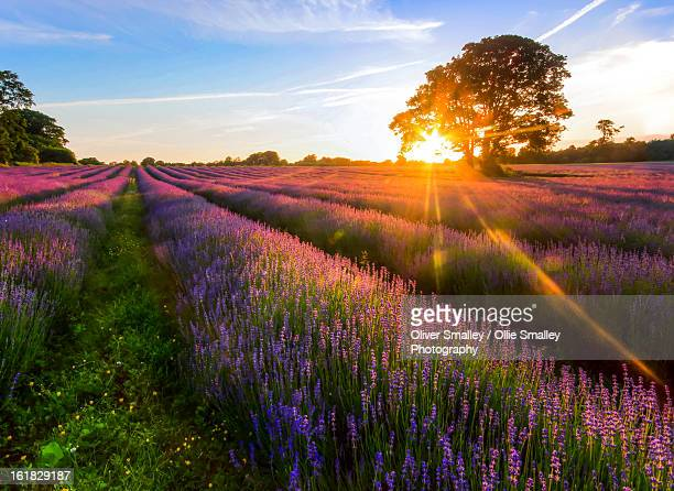 Lavender Field Sunset.