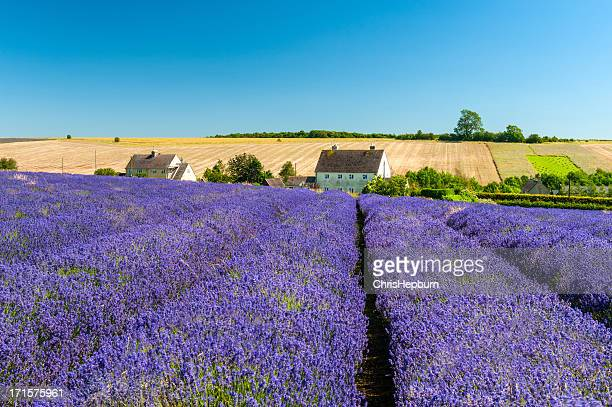 Lavender Field Under Clear Blue Sky