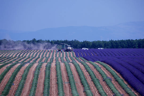 Lavender field under harvest with tourists