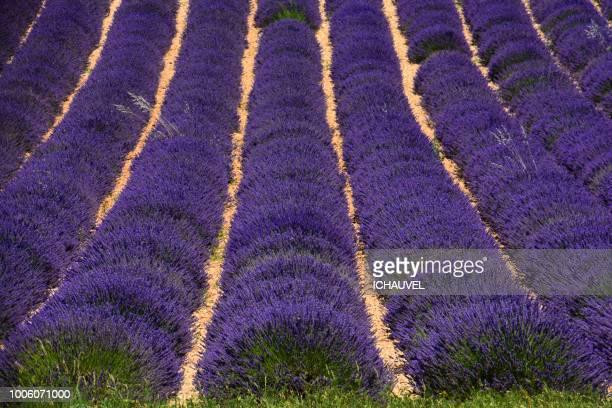 lavender field valensole france - アルプドオートプロバンス県 ストックフォトと画像