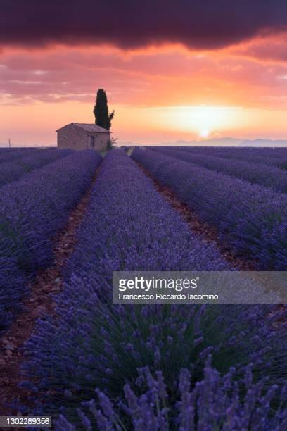 lavender field valensole plateau, full bloom, dark low key mood. provence, southern france - francesco riccardo iacomino france foto e immagini stock