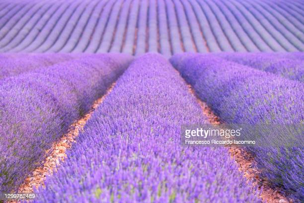 lavender field valensole plateau, full bloom, perfect symmetry . provence, southern france - francesco riccardo iacomino france foto e immagini stock