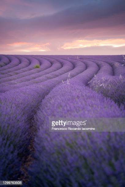 lavender field valensole plateau, full bloom. provence, southern france. dark purple sunset - francesco riccardo iacomino france foto e immagini stock