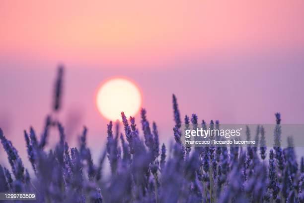 lavender field valensole plateau, full bloom. provence, southern france. sunset and flowers details - francesco riccardo iacomino france foto e immagini stock