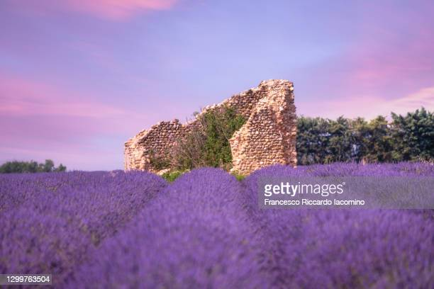 lavender field valensole plateau, full bloom with old ruins at sunset. provence, southern france - francesco riccardo iacomino france foto e immagini stock