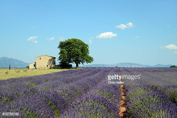 lavender field valensole provence - provence alpes cote d'azur stock pictures, royalty-free photos & images