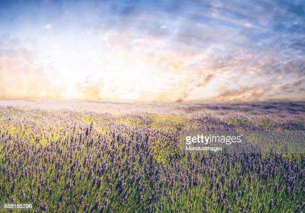 Lavender Field with a dramatic sky