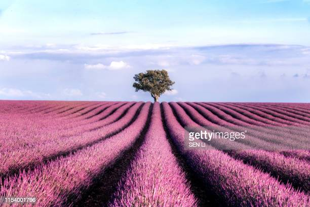 lavender field with a tree in the end against the sky during summer sunset - ヴァレンソール高原 ストックフォトと画像
