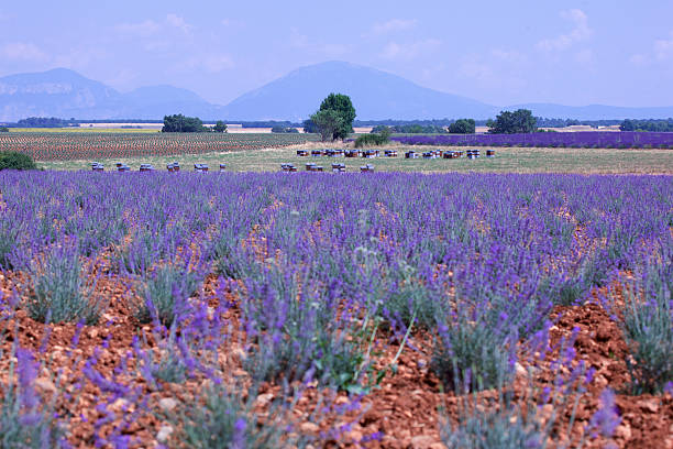 Lavender field with beehives
