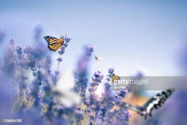 lavender field with butterflies - invertebrate stock pictures, royalty-free photos & images