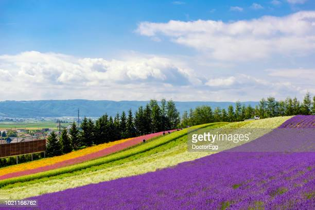 lavender field with colourful flower garden in summer blue sky day at tomita farm, hokkaido, jpaan - lavender color ストックフォトと画像