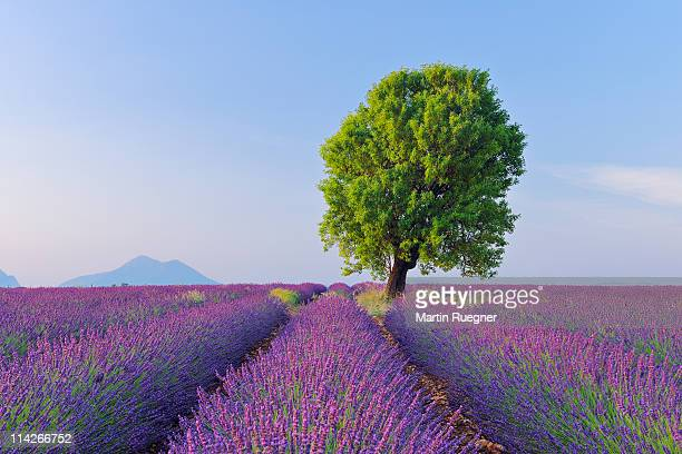 lavender (lavendula angustifolia) field with tree. - alpes de haute provence stockfoto's en -beelden