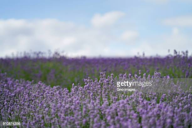 lavender field, england, united kingdom - image stock pictures, royalty-free photos & images