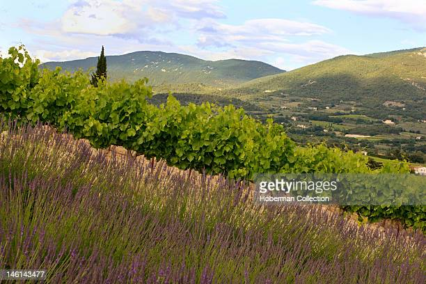 Lavender Fields and Vineyards, Southern France