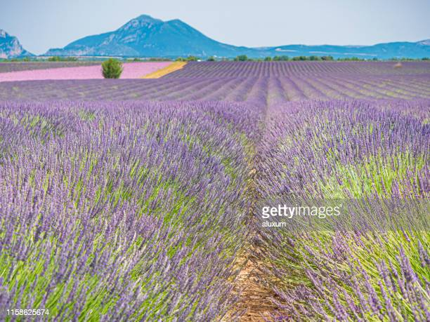 lavender fields around valensole provence france - france lille stock pictures, royalty-free photos & images