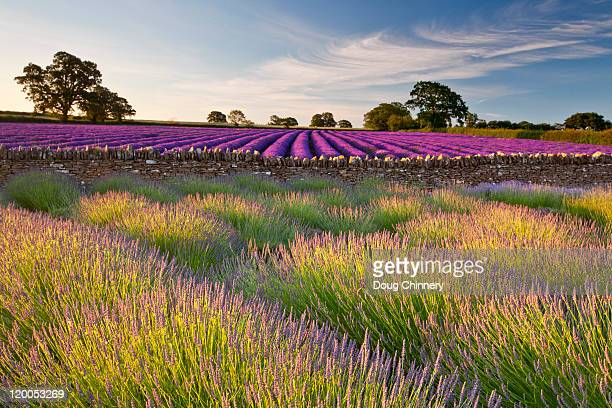 lavender fields at dawn - somerset england stock pictures, royalty-free photos & images
