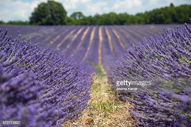 lavender fields at it's best, provence, france - アルプドオートプロバンス県 ストックフォトと画像