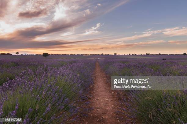 lavender fields at sunset brihuega, guadalajara, castilla la mancha, spain. - castilla la mancha fotografías e imágenes de stock