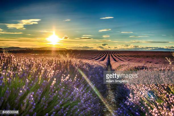 lavender fields at sunset - provence alpes cote d'azur stock photos and pictures