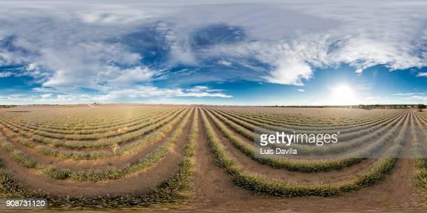 lavender fields. brihuega. spain - vr 360 fotografías e imágenes de stock