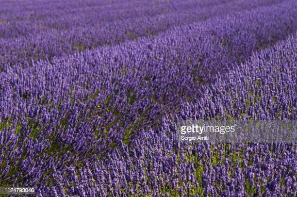 Lavender fields geometric detail