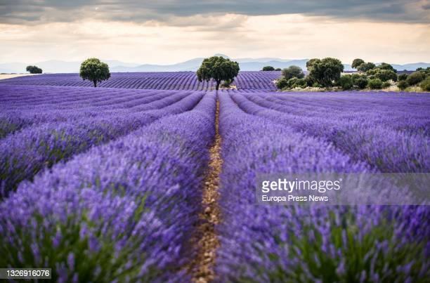 Lavender fields in full bloom on July 3 in Brihuega, Guadalajara, Castilla La-Mancha, Spain. Brihuega, known as 'El Jardin de la Alcarria', was the...