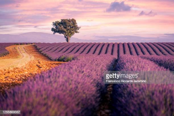 lavender fields in provence, france. lonely tree, purple sunset. - francesco riccardo iacomino france foto e immagini stock