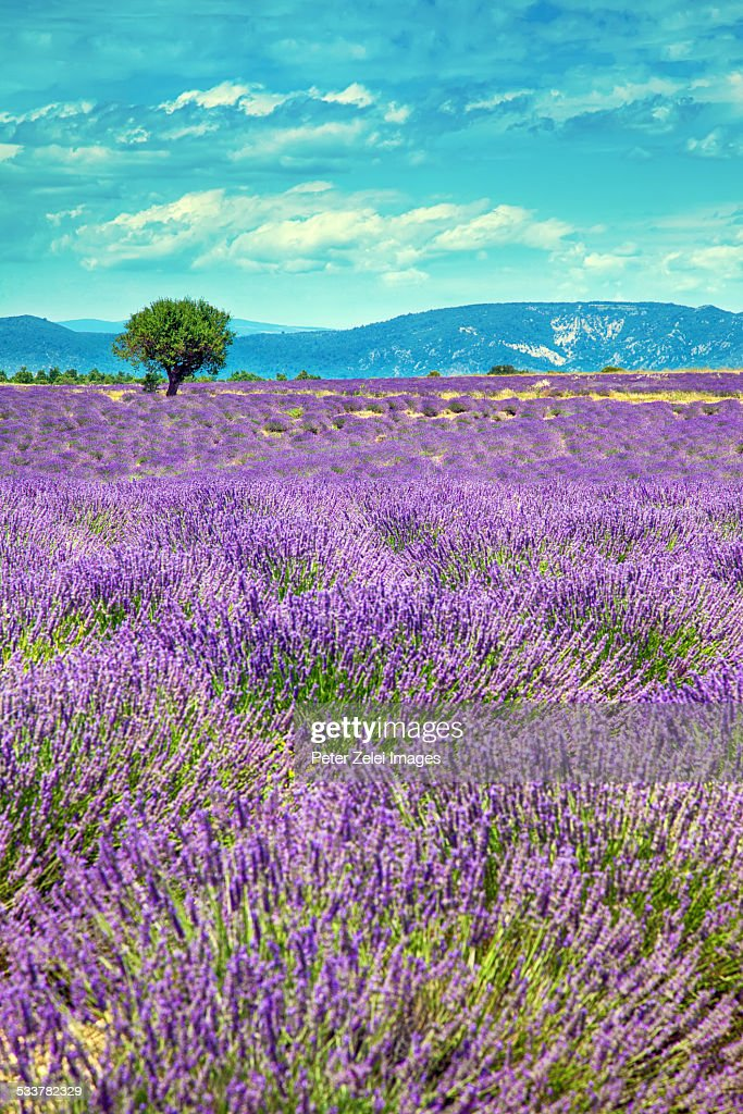 Lavender fields in Provence : Foto stock