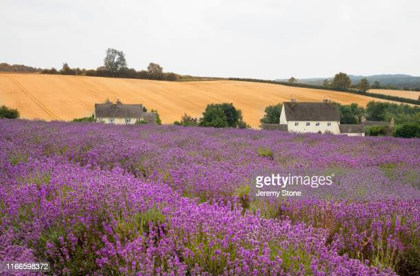 lavender fields in the cotswolds - worcestershire stock pictures, royalty-free photos & images