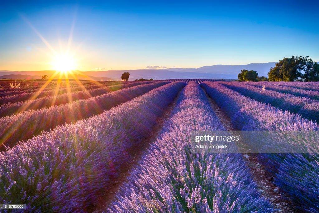 lavender fields : Stock-Foto