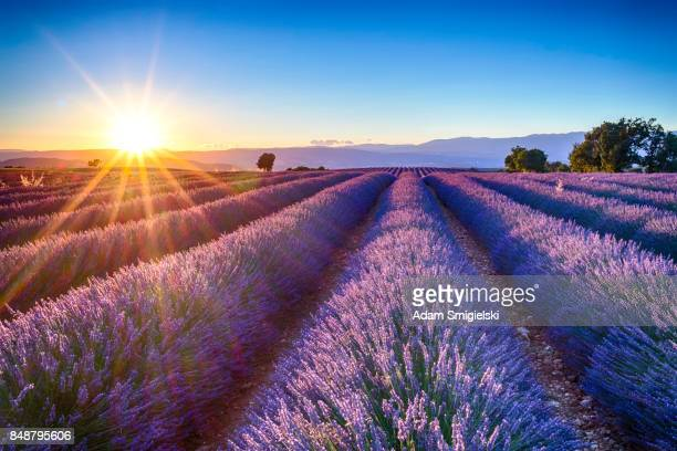 lavender fields - france stock-fotos und bilder