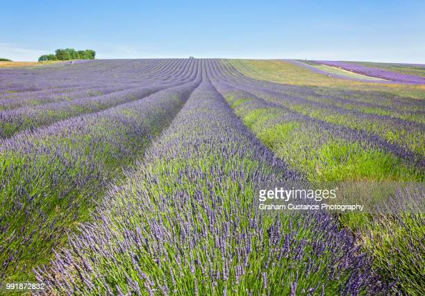 lavender fields - hertfordshire stock pictures, royalty-free photos & images