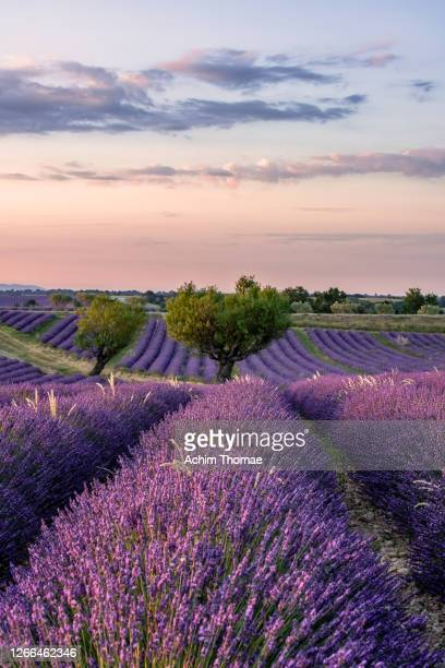 lavender fields, provence, france, europe - france stock pictures, royalty-free photos & images