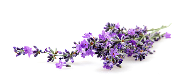 Lavender flower isolated on white background - gettyimageskorea