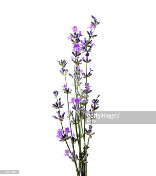 lavender flower isolated on white background - lavender plant stock pictures, royalty-free photos & images