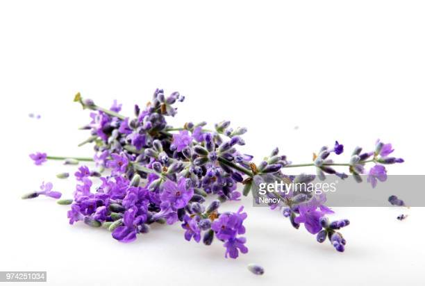 lavender flower isolated on white background - lavande photos et images de collection