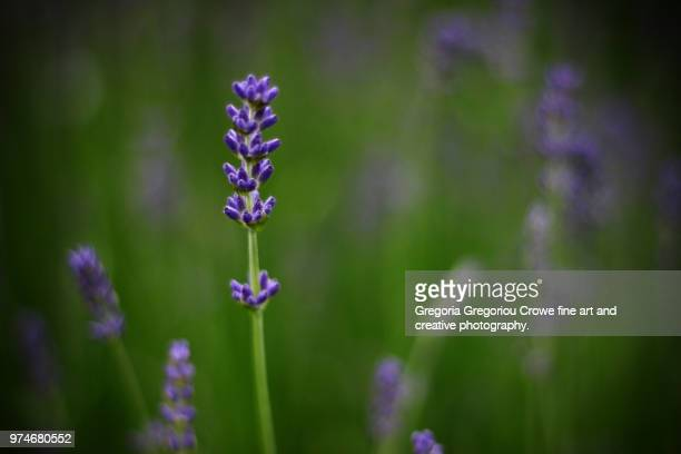 lavender flower - gregoria gregoriou crowe fine art and creative photography. stock pictures, royalty-free photos & images